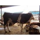 荆门肉牛养殖,肉牛养殖供应,肉牛养殖合作