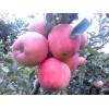 山东苹果大量上市