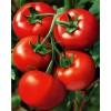 山东西红柿种植基地