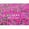 青州地被草花——想要品种好的青州地被草花就来九九花卉苗木园艺