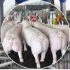 山西纯种一元母猪种猪场安徽新美系二元母猪图片洛阳市高新区