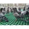 鸽子养殖专用地网格栅保质保量行业领先