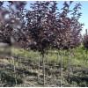 哈尔滨山里树种-供应黑龙江易成活的山里树种