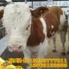 山东养牛场小牛价格牛犊