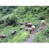 贵州糯谷猪养殖场地址