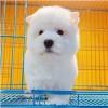 上海宠物狗幼犬购买厂家直销量大从优质量优越