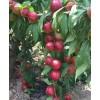 陕西油桃价格,中油5号油桃,46-28油桃,油桃批发价格。