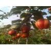 广州红酥梨厂家_上饶好的红酥梨提供商