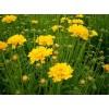 金鸡菊供应商《美的令人心动》金鸡菊种植基地