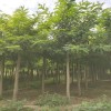 【必须推】青州刺槐种植基地@志超现货供应刺槐